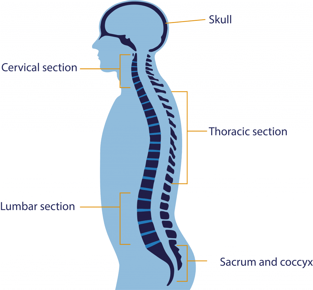 Brain Spine Foundation Anatomy Of The Brain And Spine